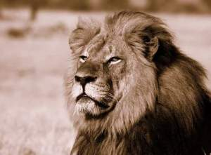 Cecil, mighty king of Hwange National Park, Zimbabwe