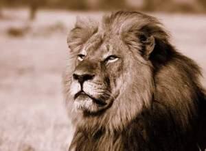 Cecil, mighty king of Hwange National Park, Zimbabwe